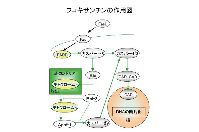 フコキサンチンの抗癌作用